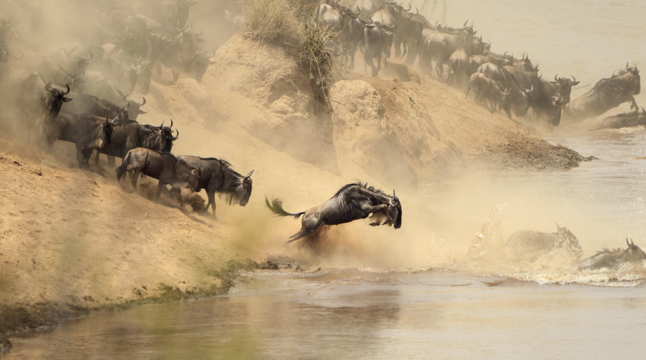 Wildebeest in Kenya