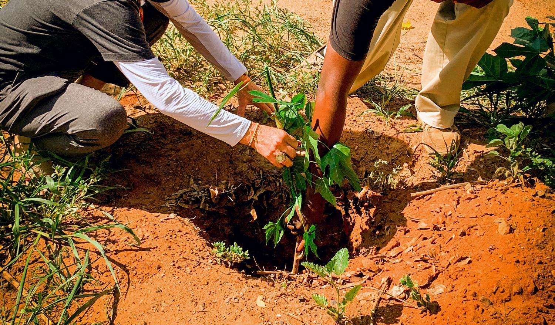 Chaya Tree Story